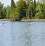 swans-at-the-franklin_0