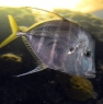 webfishes466